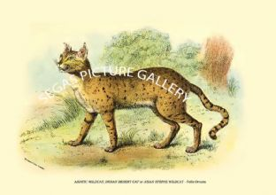 ASIATIC WILDCAT, INDIAN DESERT CAT or ASIAN STEPPE WILDCAT - Felis Ornata